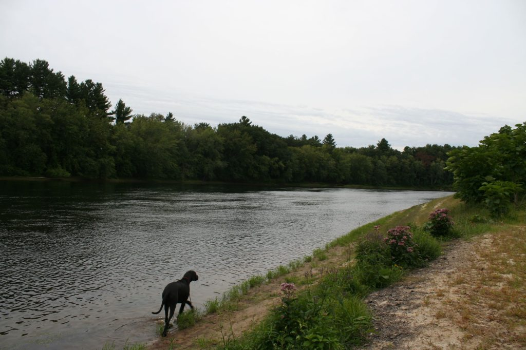 A blue river flowing past a river bank.  On the bank there is short green grass, shrubs, and milkweed flowers.  A large black dog is walking in the water.