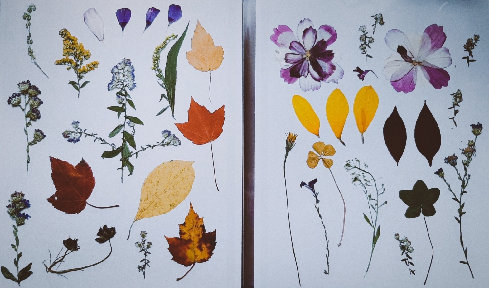 About 25 pressed flowers and plants such as leaves, four leaf clovers, and flower petals on a white background.