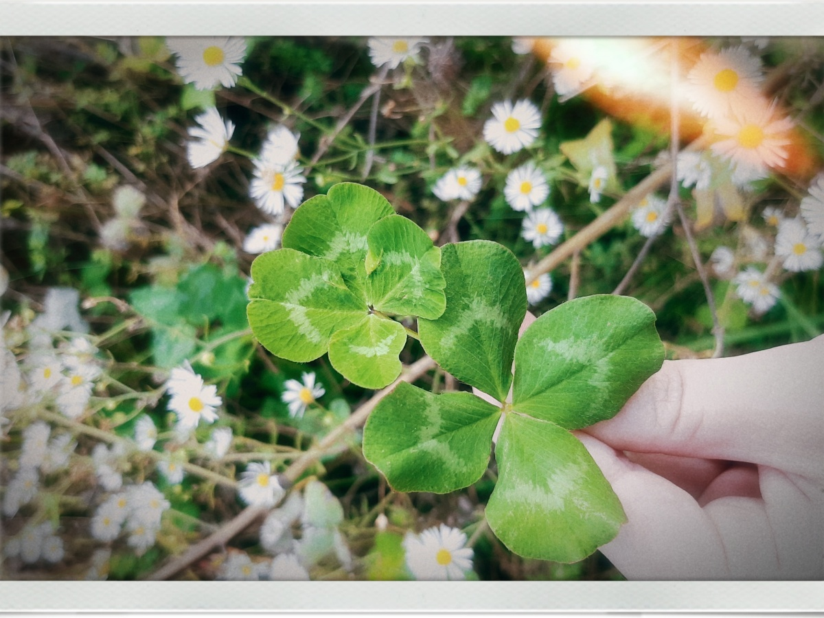 a white hand holding two large 4 leaf clovers in front of many small daisies